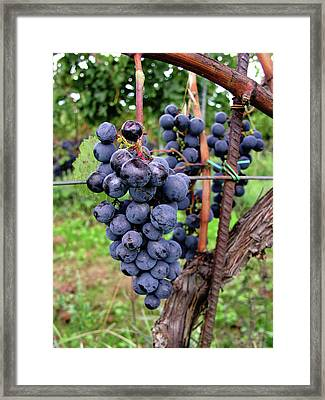 Tuscan Grapes Framed Print