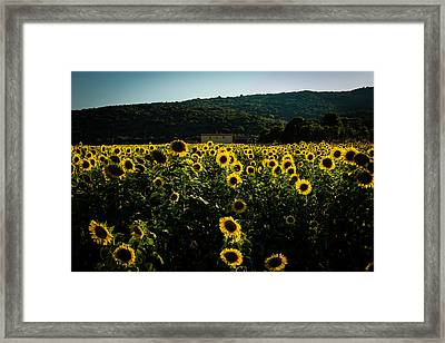 Tuscany - Sunflowers At Sunset Framed Print by Cesare Bargiggia