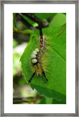 Tussock Moth Mohawk Framed Print