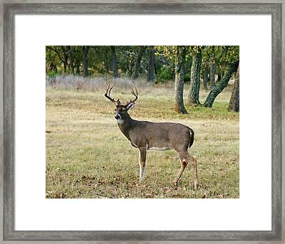 Twelve Point Buck Framed Print