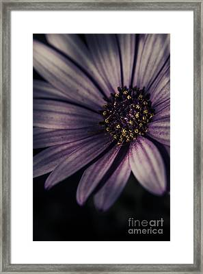Twilight Daisy Framed Print