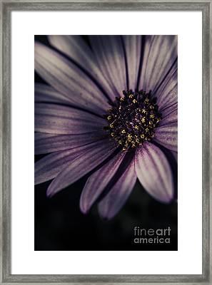 Twilight Daisy Framed Print