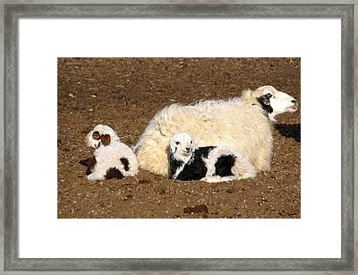 Twin Lambs Of The Gobi Framed Print