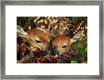 Twin Newborn Fawns Framed Print