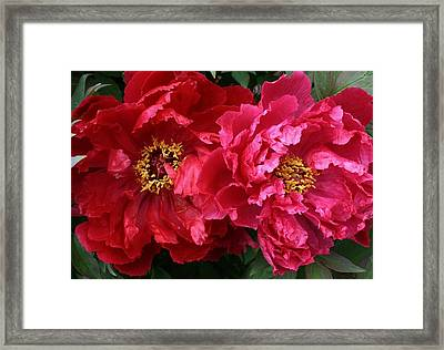 Twin Peonies Framed Print