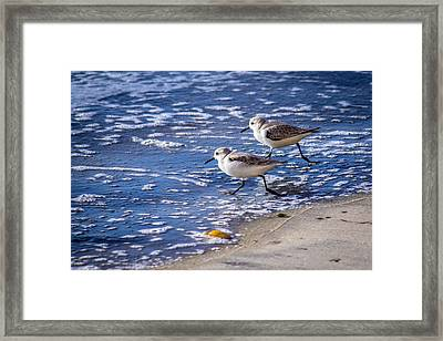 Twin Plovers Framed Print