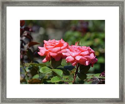 Twin Roses  Framed Print by Ruth Housley