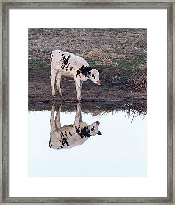 Twin Spotted Calves Framed Print