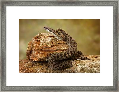 Twin-spotted Rattlesnake On Desert Rocks Framed Print by Susan Schmitz