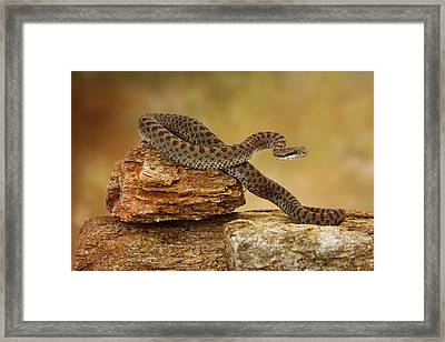 Twin-spotted Rattlesnake On Top Of Rock Framed Print by Susan Schmitz