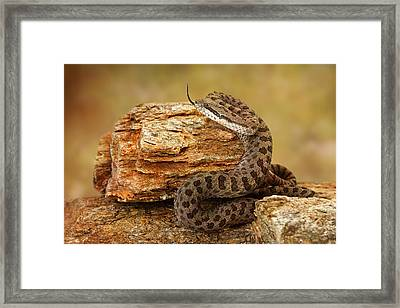 Twin-spotted Rattlesnake With Tongue Out Framed Print by Susan Schmitz