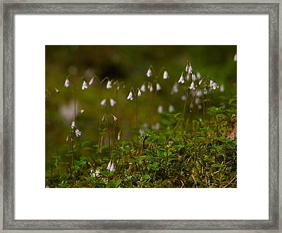 Twinflower Framed Print by Jouko Lehto