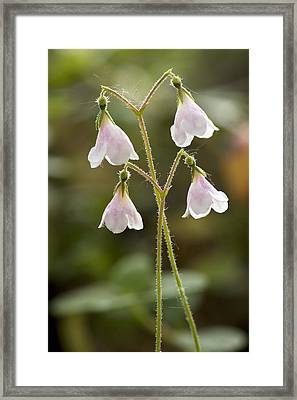 Twinflower (linnaea Borealis) Framed Print by Bob Gibbons