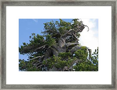 Twisted And Gnarled Bristlecone Pine Tree Trunk Above Crater Lake - Oregon Framed Print by Christine Till