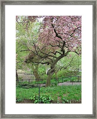 Twisted Cherry Tree In Central Park Framed Print
