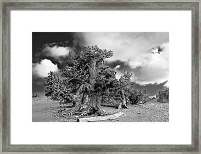 Twisted Old Bristlecone Pine Above Crater Lake - Oregon Framed Print by Christine Till