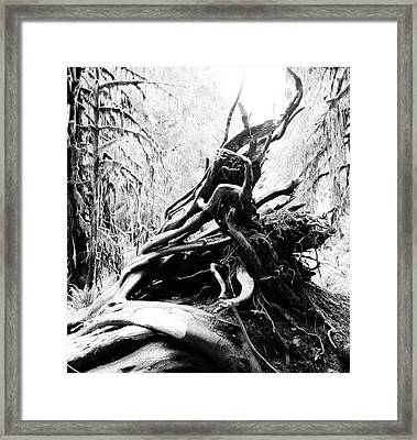 Twisted Tree Trunk In Hoh Rainforest Framed Print by Dan Sproul