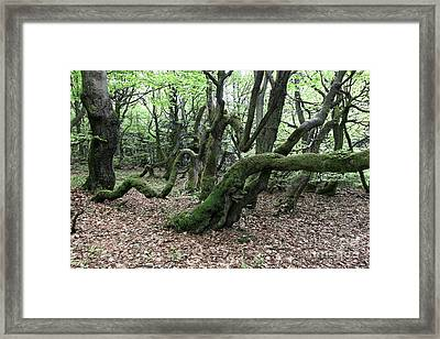 Framed Print featuring the photograph Twisted Trunks Of Beech Trees - Old Beech Forest by Michal Boubin