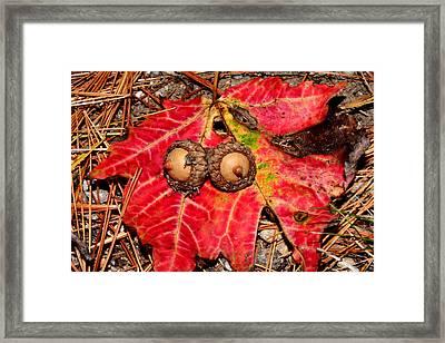 Two Acorns On Tatterd Maple Leaf Framed Print by Robert Morin