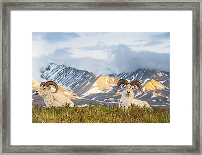 Two Adult Dall Sheep Rams Resting Framed Print