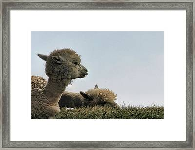 Two Alpaca Framed Print by Pat Cook