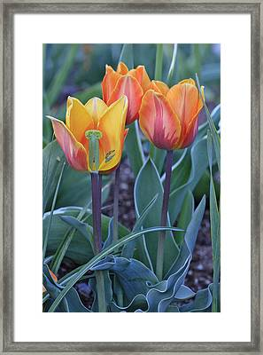 Two And A Half Tulips Framed Print