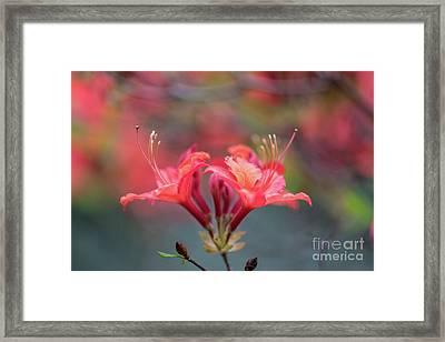 Two Beautiful Azalea Blooms Framed Print