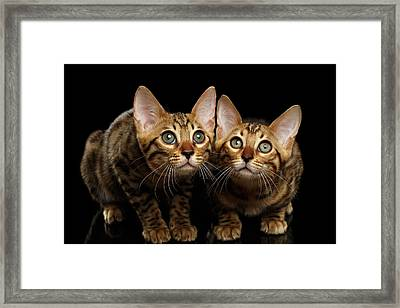Two Bengal Kitty Looking In Camera On Black Framed Print by Sergey Taran