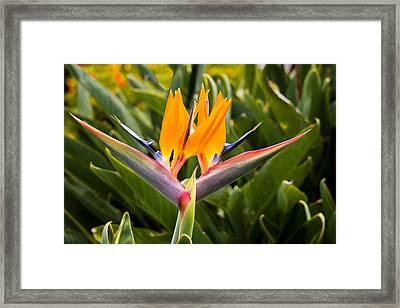 Two Bird Of Paradise Flowers - Oahu, Hawaii Framed Print by Brian Harig