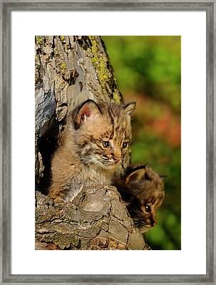 Two Bobcat Kittens Peeking Out From The Hollow Of A Tree In Autu Framed Print by Reimar Gaertner