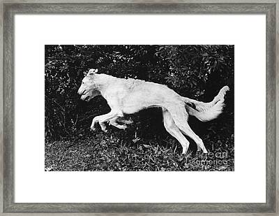 Two Borzoi Russian Wolfhounds Leaping Framed Print
