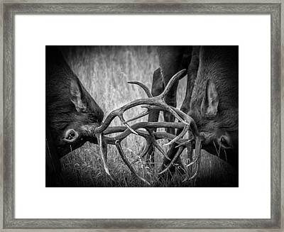 Two Bull Elk Sparring Framed Print