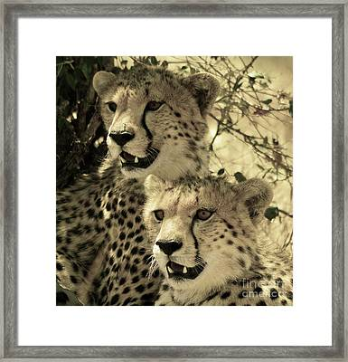Two Cheetahs Framed Print