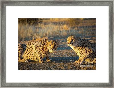 Two Cheetahs Framed Print