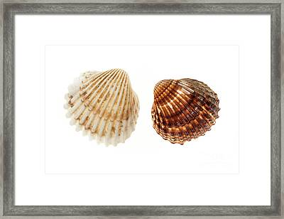 Two Cockle Shells Framed Print
