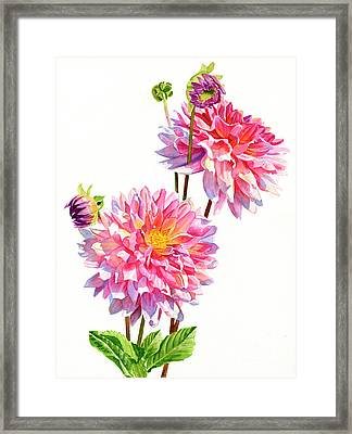 Two Colorful Dahlias On White Framed Print