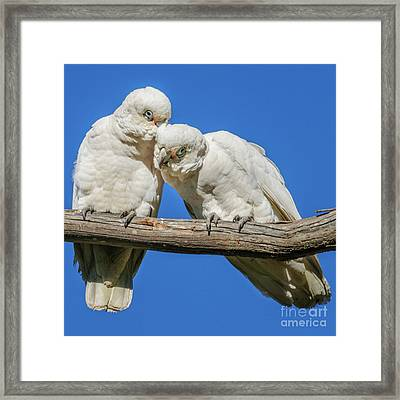 Two Corellas Framed Print