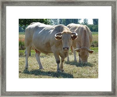 Framed Print featuring the photograph Two Cows by Jean Bernard Roussilhe