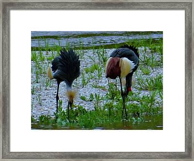 Two Crested Cranes Eating Framed Print