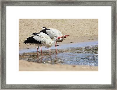 Two Drinking White Storks Framed Print
