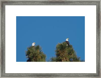 Two Eagles In Two Tree Tops Framed Print