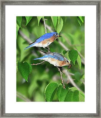 Two Eastern Bluebirds Framed Print by Betty LaRue