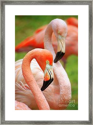 Two Flamingoes Framed Print by Carlos Caetano
