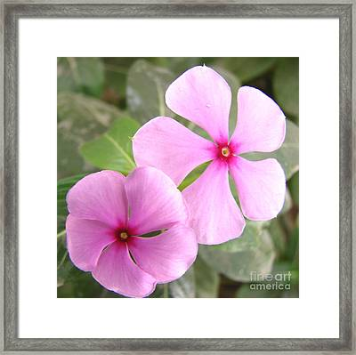 Two Flowers- Rosy Periwinkle Framed Print by Shariq Khan
