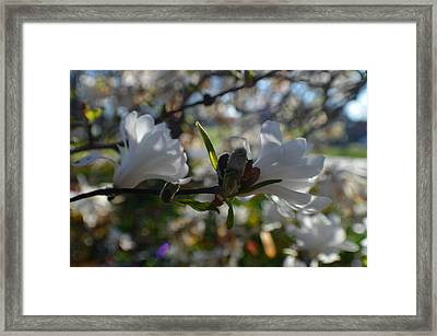 Two Fresh White Mini Magnolias Framed Print by Tina M Wenger