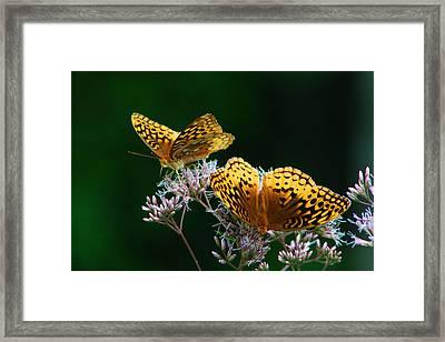 Two Fritillaries Framed Print by Kathryn Meyer