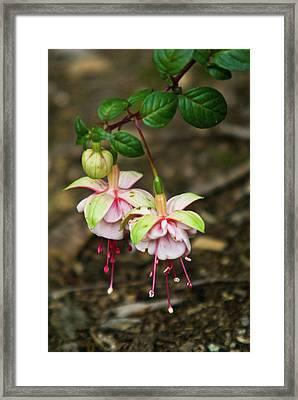 Two Fushia Blossoms Framed Print by Douglas Barnett