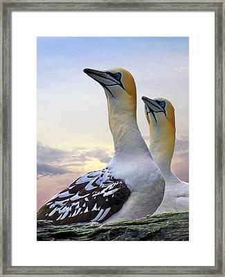 Two Gannets Framed Print by Lynn Bolt