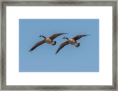 Two Geese Framed Print by Paul Freidlund