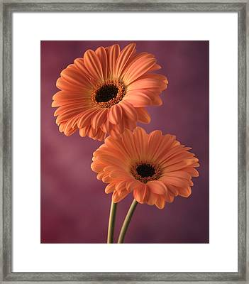 Two Gerberas 2 Framed Print by Joseph Gerges